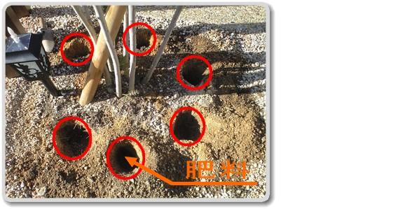 庭木の周りに掘った穴に肥料を埋めます