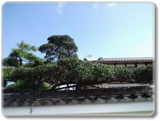 庭木 「チジミガシ」