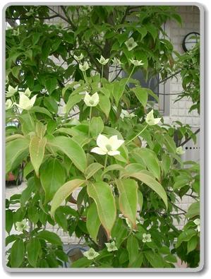 ヤマボウシ(常緑樹)